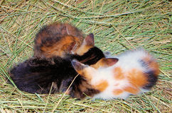 Domestic cat. S photographed while huddled on the hay Stock Image