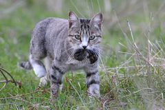 A domestic cat caught a field mouse Royalty Free Stock Photography