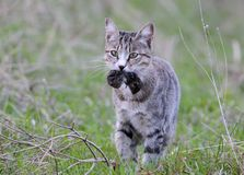 A domestic cat caught a field mouse. And carried it to the owner stock photos
