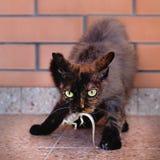 Domestic cat caught lizard, hunter with prey. stock photo