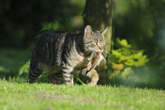 Domestic cat with caught mouse Royalty Free Stock Images