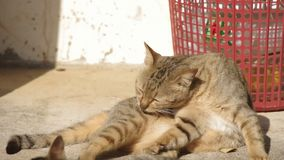 Domestic cat cleaning herself stock footage