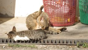 Domestic cat cleaning herself stock video