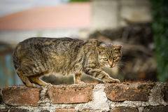 The domestic cat climbs the wall. Closeup Stock Photography