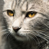 Domestic Cat. Close up Portrait of a domestic Cat Stock Photo