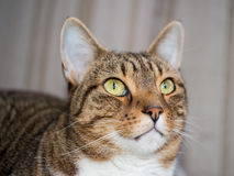 Domestic cat close-up shot Royalty Free Stock Photography
