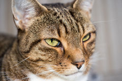 Domestic cat close-up shot Royalty Free Stock Images