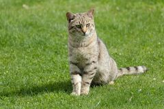 The domestic cat Royalty Free Stock Photography