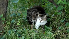 Domestic cat defending herself. Black and white domestic cat in the grass defending herself stock video footage