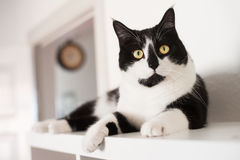 Domestic Cat. Domesticated Cat relaxing on bookshelf Stock Images