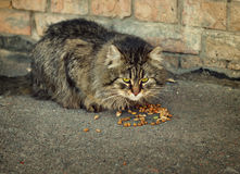Domestic cat eating dry food Stock Images