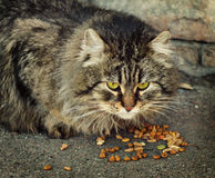 Domestic cat eating dry food Royalty Free Stock Photography