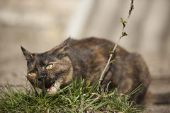 Domestic cat eating grass Stock Photo