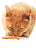 Domestic cat eating Stock Images