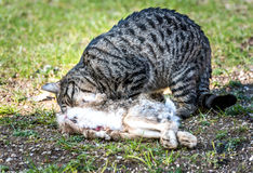 Domestic cat is eating a wild rabbit Royalty Free Stock Photography