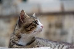 The domestic cat. Enjoys the mild sun on the morning on the walls of the Kotor fortress Royalty Free Stock Photos