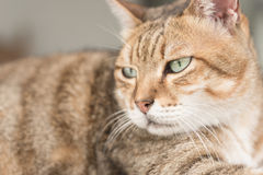 Domestic cat face Royalty Free Stock Photos