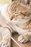 Domestic cat face Royalty Free Stock Images