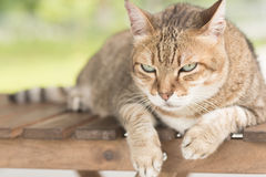 Domestic cat face Stock Photo