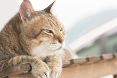 Domestic cat face Royalty Free Stock Image