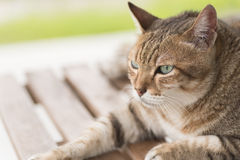 Domestic cat face Stock Images