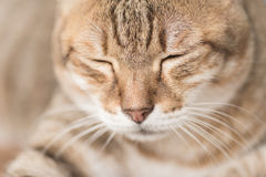 Domestic cat face Royalty Free Stock Photography