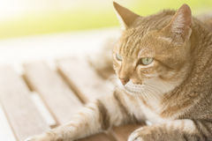 Domestic cat face Royalty Free Stock Photo