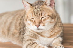 Domestic cat face Stock Image