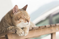 Domestic cat face Stock Photography