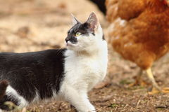 Domestic cat in the farmyard Royalty Free Stock Photos