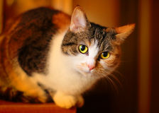 Domestic cat. Stock Photography