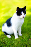 Domestic cat - felis catus Stock Image