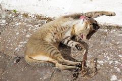 Domestic cat (felis catus) Stock Photo