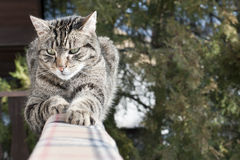 Domestic cat Royalty Free Stock Photo