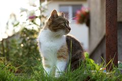 A domestic cat, felis silvestris catus, looking away. Something is more important than my camera. Back light stock image