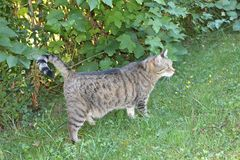 Domestic cat  Felis silvestris catus. The domestic cat Felis silvestris catus or Felis catus is a small, typically furry, carnivorous mammal. They are often Royalty Free Stock Photography