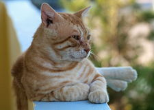 Domestic Cat  (Felis silvestris f. catus). The domestic cat (Felis silvestris f catus) is a domesticated form of the wildcat, which has for millennia guide man Royalty Free Stock Photography