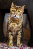 Domestic cat full body Royalty Free Stock Photo