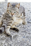 Domestic cat on a funny pose Royalty Free Stock Images