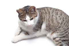 Domestic cat. Domestic funny cat on white backgrount Royalty Free Stock Photo