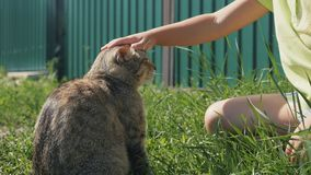 Domestic cat on the grass. Girl stroking the cat. Affectionate cat. Close up. slow motion video stock video