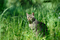 Domestic cat in the grass Royalty Free Stock Image