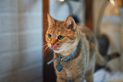Domestic cat with green eyes at home, with a collar Royalty Free Stock Photography