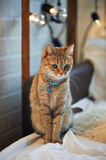 Domestic cat with green eyes at home, with a collar Stock Images