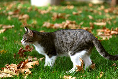 Domestic cat on green grass with yellow leafs. Cute tabby cat playing on green grass in autumn Royalty Free Stock Photography