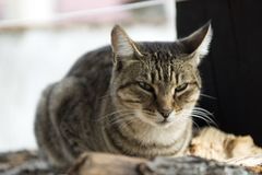 Domestic Cat guarding the Porch stock photography
