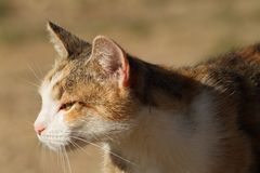 Domestic cat head Royalty Free Stock Images