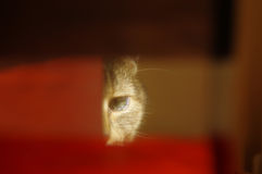 Domestic cat hidden behind curtain Royalty Free Stock Image