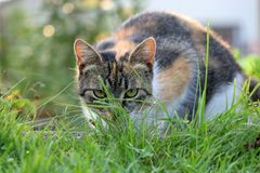 A domestic cat hiding in grass and ready for attack against some special insect. Garden, golden hour, cat stock photography