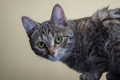 Domestic cat. Home gray cat sits and stares into the lens Royalty Free Stock Images